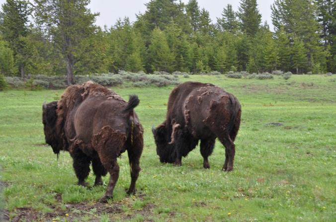 bison poop